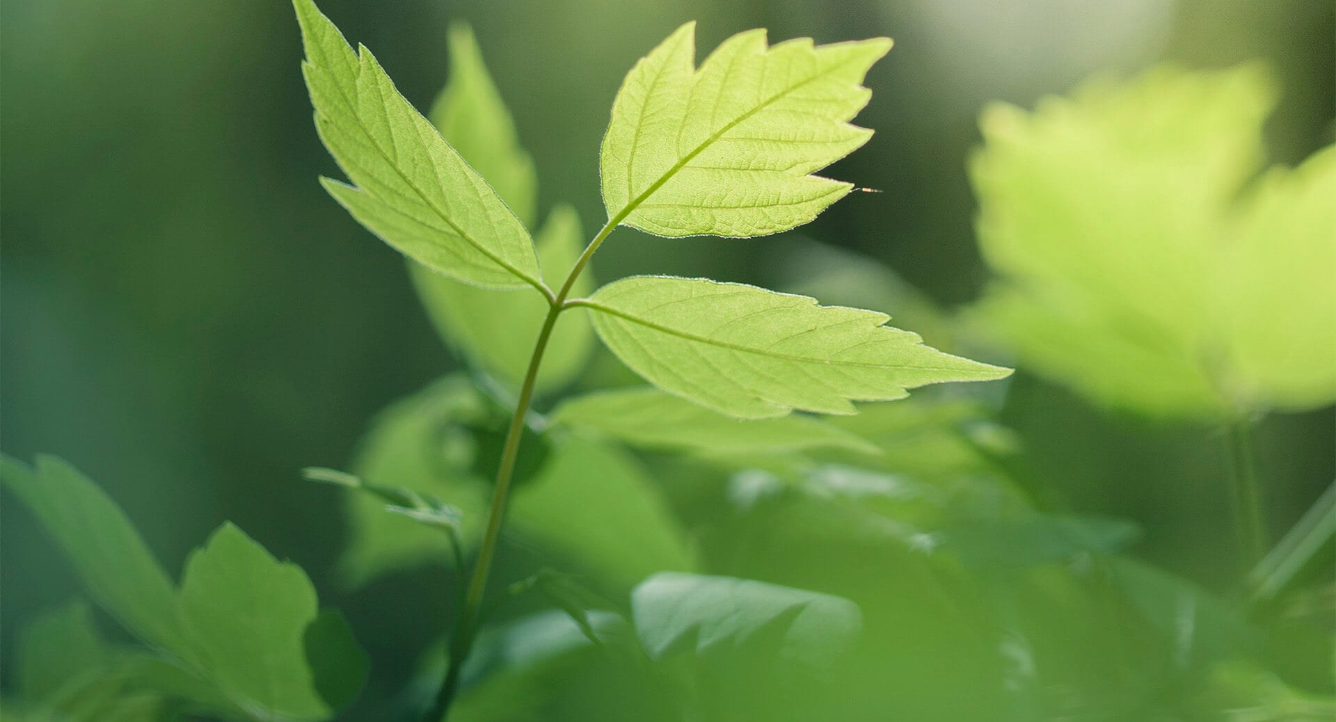 bc-green-leaves
